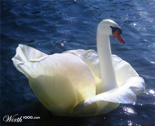 rose-swan-photomanipulation