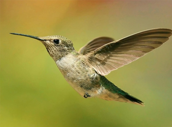 hummingbird-desktop-background