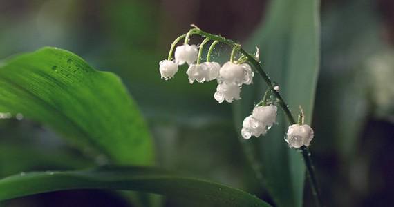 Lilies পছন্দ না হলে টিউন ডিলিট গ্যারান্টি – মাথা নষ্ট করার মত ফুল HD ওয়ালপেপার