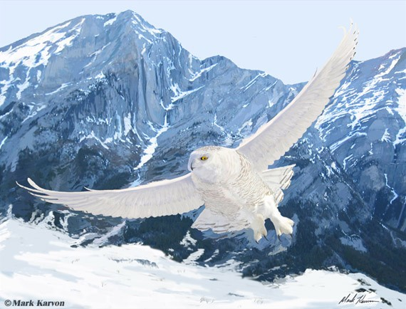 artwork-05-snowy-owl