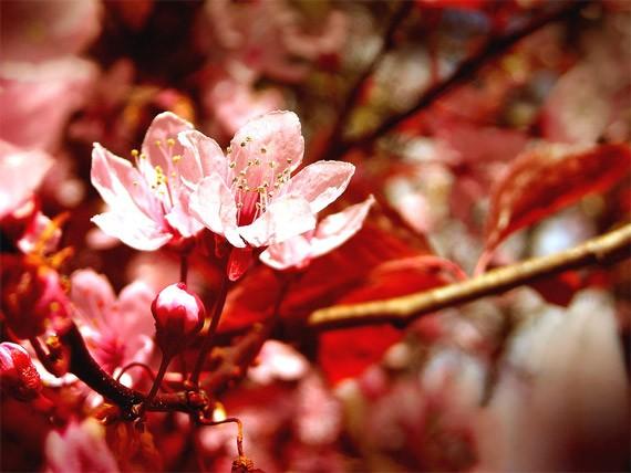 artwork-08-cherry-blossoms