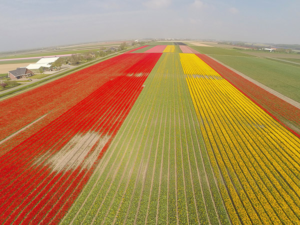 tulip-fields